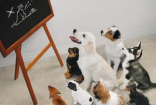 Club Canin Brévinois Reprise des cours